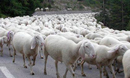 Ami i lupi?  Adotta un pastore:ecco l'iniziativa di  Coldiretti
