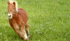 Fugge un pony, recuperato dalla Polizia municipale