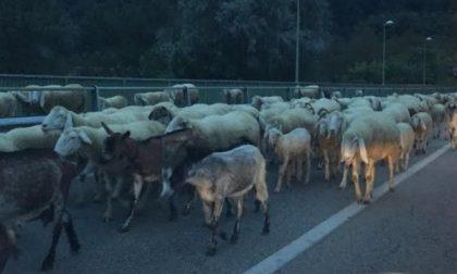 Pecore sul ponte della Collina di Chivasso rallentano il traffico