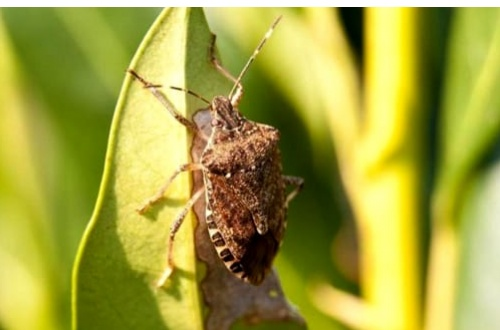 Invasione di cimici il comune chiede l 39 intervento dell 39 asl la nuova periferia - Invasione di formiche in cucina ...