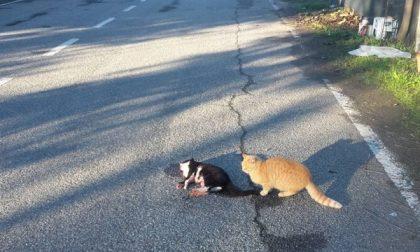 A Crescentino gatto veglia l'amico morto