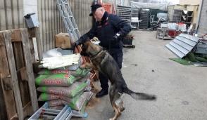 Il cane carabiniere Quark scopre cocaina e hashish in un panificio