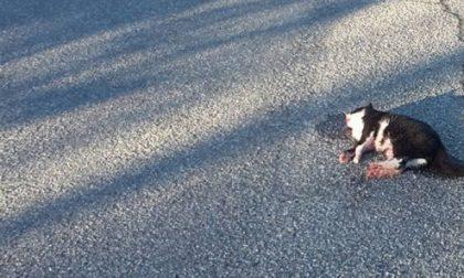 Brandizzo, uccide e lascia in strada il cadavere del gatto: la denuncia