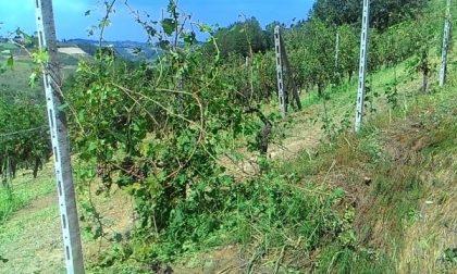 Furti nelle vigne di Caluso: la ladra è una ragazza