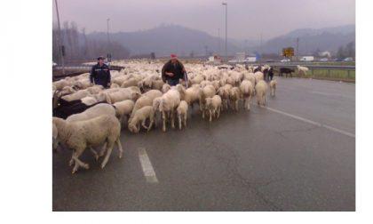 Verolengo, pecore al pascolo sulla strada