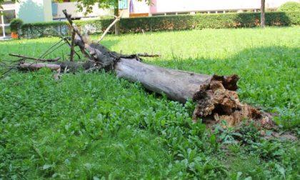 Cade un albero nel parco, tragedia sfiorata a Settimo