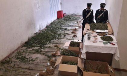 Coltiva marijuana nel bosco arrestato operaio