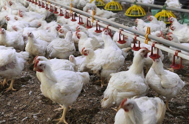 Influenza aviaria anche in Piemonte