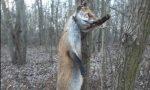 Uccidono e impiccano volpe caccia agli autori