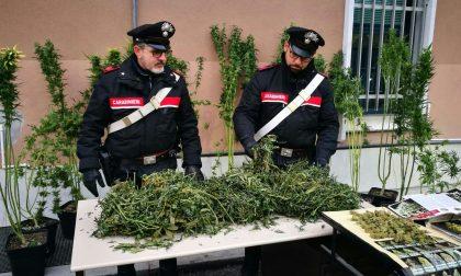 Piante cannabis coltivate in casa carabinieri denunciano l'inquilino