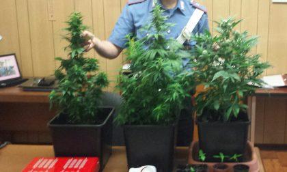Cannabis coltivata in casa denunciata una coppia