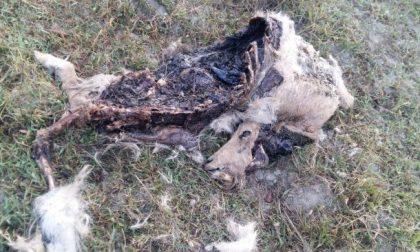 Capre sbranate e lupi a pochi passi dalle case nella Collina Chivassese