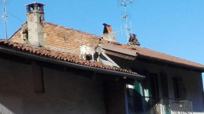 Una capra sul tetto di un&#8217&#x3B;abitazione, intervengono i vigili del fuoco di Chivasso LE FOTO