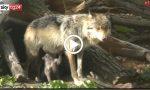 Piano conservazione e gestione del lupo in Italia: no abbattimenti selettivi