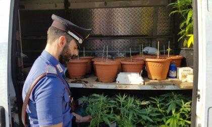 Marijuana, scoperta una piantagione e una serra