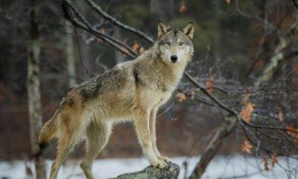 Branco di lupi scoperto nel parco naturale