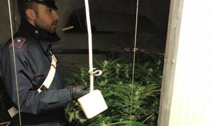 Scoperta serra di marijuana in una stanza segreta