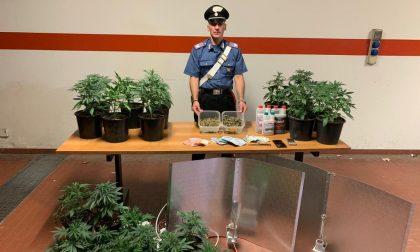 "Barattoli di marijuana nascosti tra le spezie: arrestato produttore droga ""km0"""