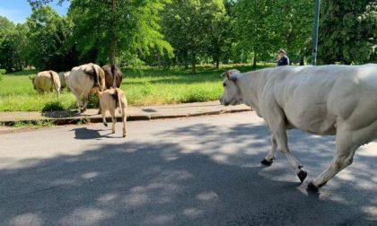 Mucche in mezzo alla strada