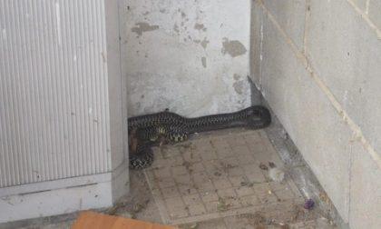 Serpente recuperato nel Palazzetto dello Sport di Brandizzo