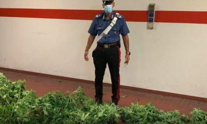 Coltiva marijuana nel giardino di casa, arrestato IL VIDEO