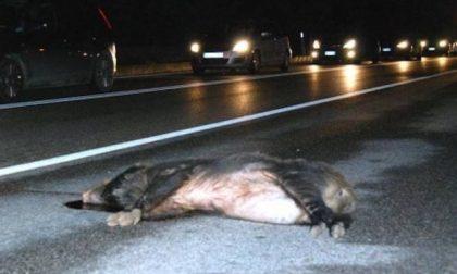Auto contro cinghiali: due giovani morti e uno ferito