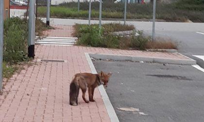 Avvistata una volpe nei pressi del polo medico