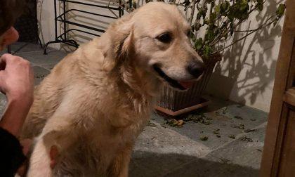 Trovata una femmina di Labrador: chi l'ha persa?