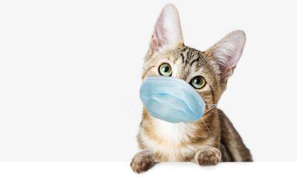 Primo caso di variante inglese su un gatto, contagiato dai propri padroni