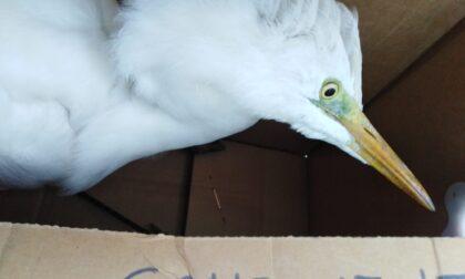 Uccello spaesato ritrovato nel giardino di un'abitazione