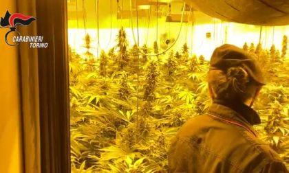 La «fabbrica» della droga: 4 arresti, sequestrate 600 piante di marijuana