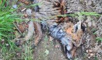 Volpe trovata morta vicino all'acquedotto