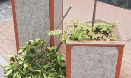 I vandali sradicano una pianta, ci sono i filmati: sono dei ragazzini
