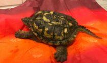 Ritrovata una tartaruga azzannatrice: è pericolosa