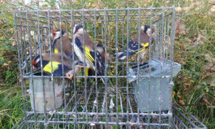 Cardellini in gabbia salvati dai carabinieri