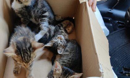 Quattro cuccioli di gatto trovati in una scatola LE FOTO
