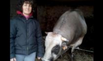 Doppia tragedia: incornata da un toro, travolto dal suo trattore