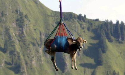 Mucca precipita nel vuoto durante il trasporto veterinario in elicottero