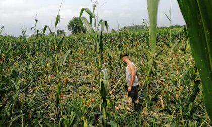 «I cinghiali hanno devastato tutti i nostri campi coltivati»
