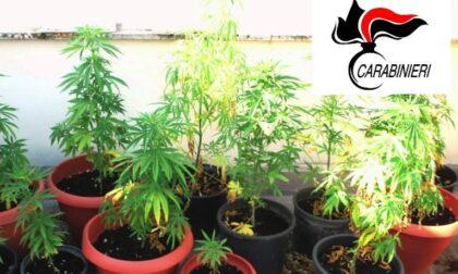 Serra di marijuana in giardino, 40enne denunciato
